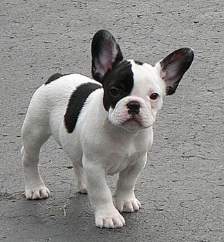 French Bulldog Playful And Smart With Images French Bulldog
