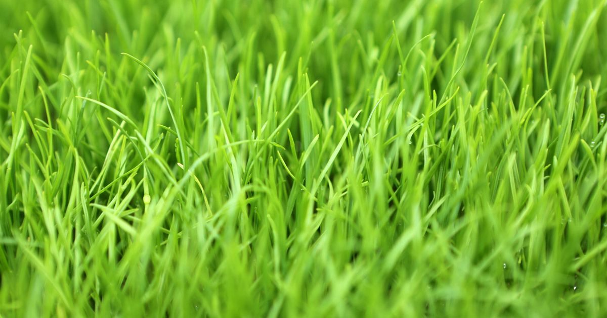 All You Need to Know About Perennial Ryegrass Grass seed