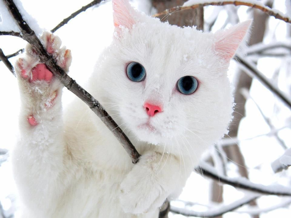 White Cat With Blue Eyes In Snow Cat With Blue Eyes Cute Cats