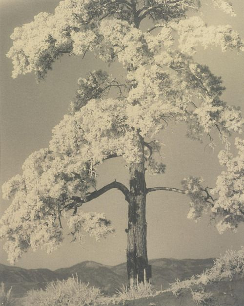 Laura Gilpin - Frosted Pine, 1927, photographie