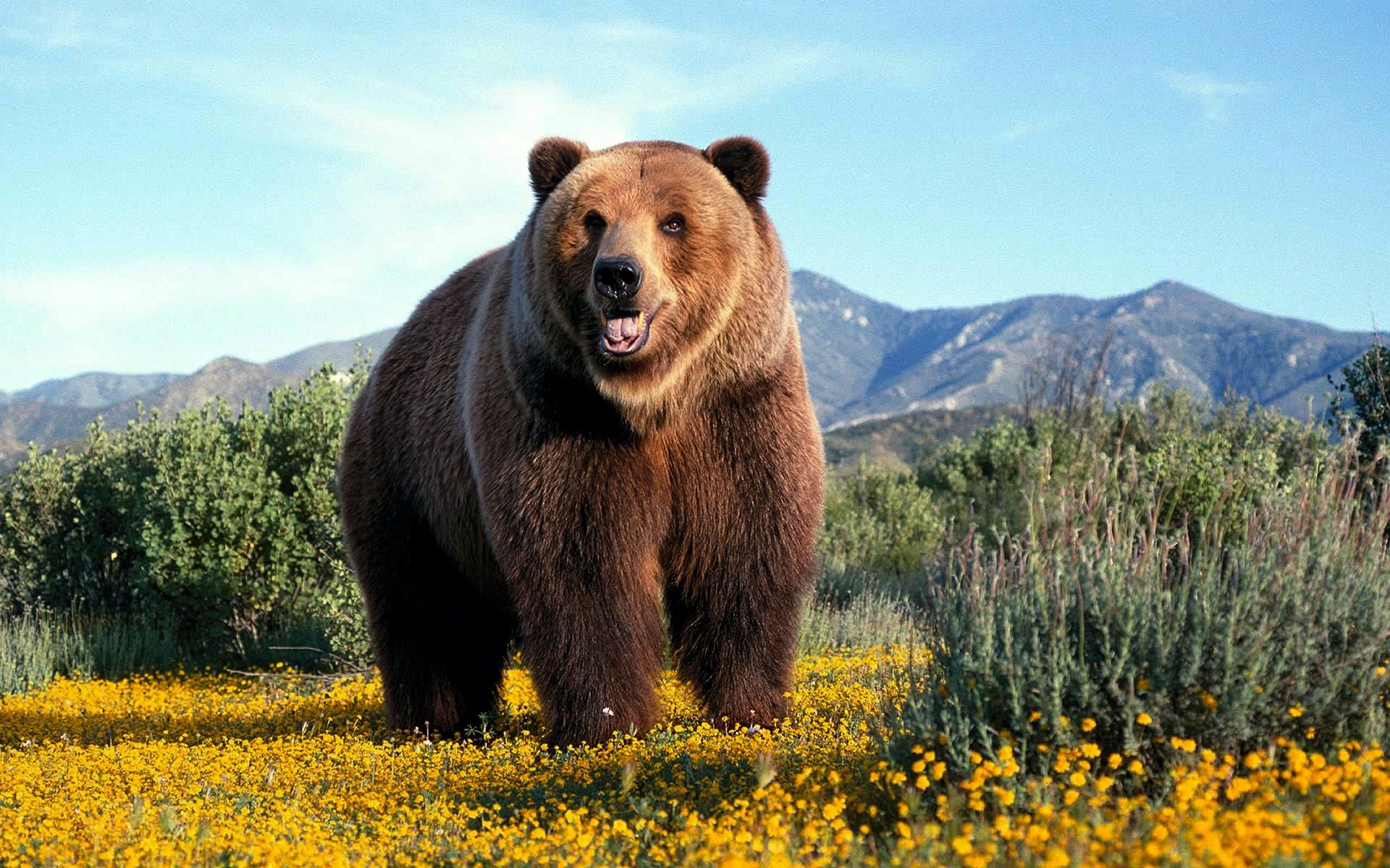 grizzly bear - google search | beasties | pinterest | bears, bear