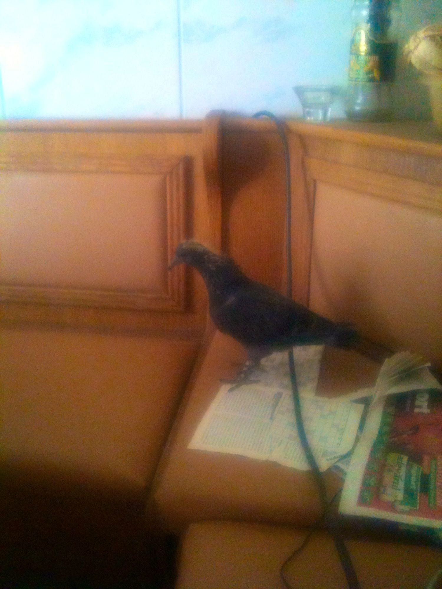 This dove likes to rest in the kitchen haha