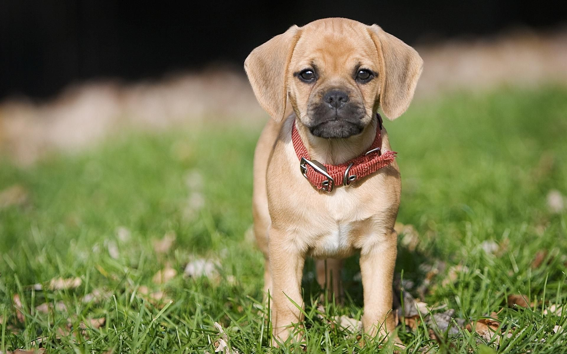 Cute Puggle Puppy Puggle Puppies Puggle Dogs Very Cute Puppies
