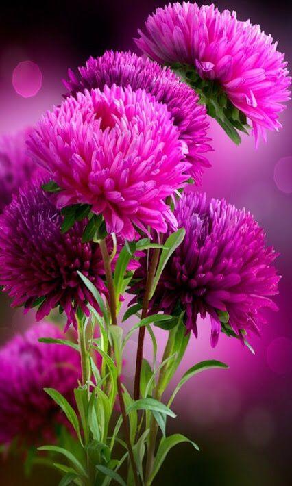 Sweery Aster Blume, Clover Flower, Aster Flower, My Flower, Lotus Flower,
