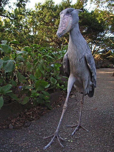 The 5 foot tall shoebill. Imagine seeing this thing walk towards you outside at night #prehistoriccreatures