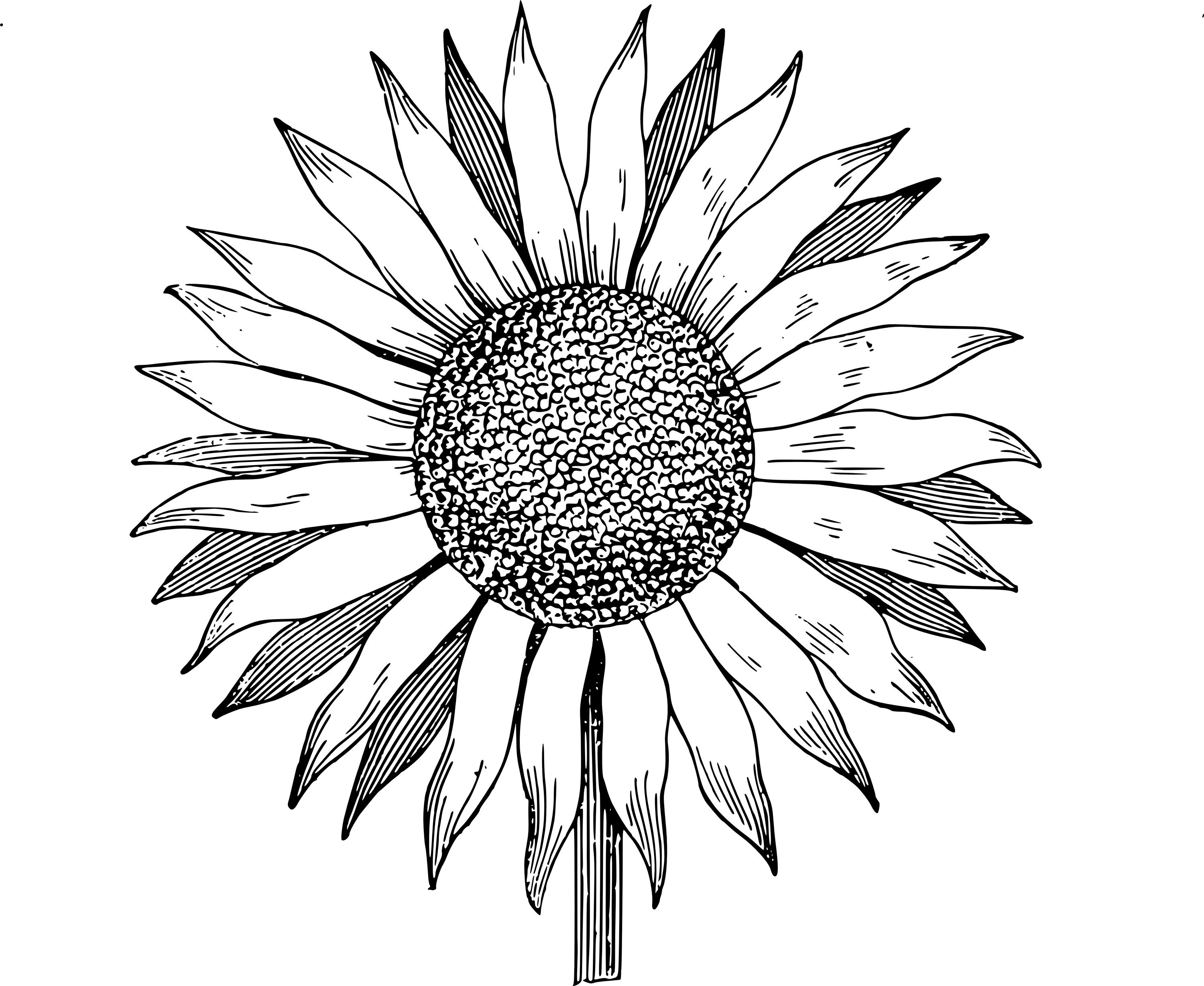 Drawn Sunflower outline (With images) Sunflower drawing