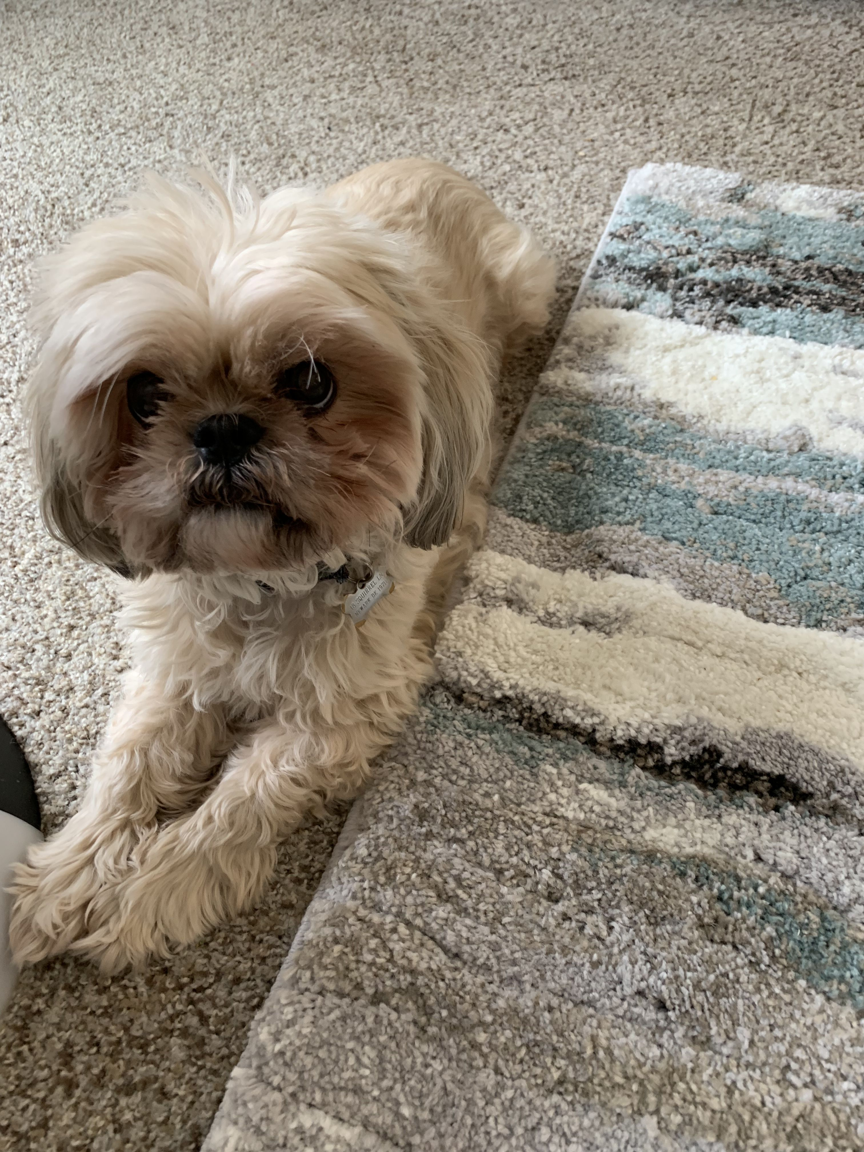 Pin By Willow D On Our Shih Tzu Dogs So Adorable Shih Tzu Dog