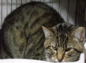 Adopt Dipstick On Kittens Brown Cat Cats