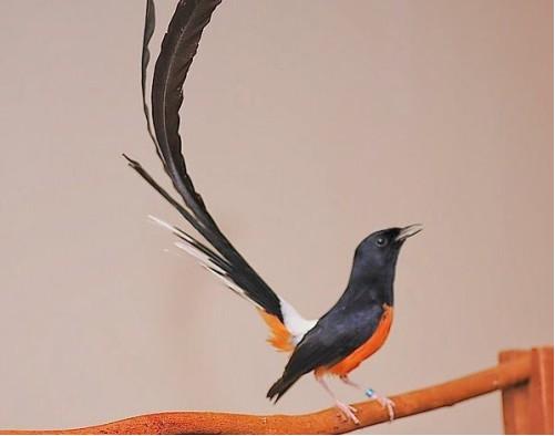 Jenis Burung Murai Batu Medan Gambar Burung Burung Burung Cantik