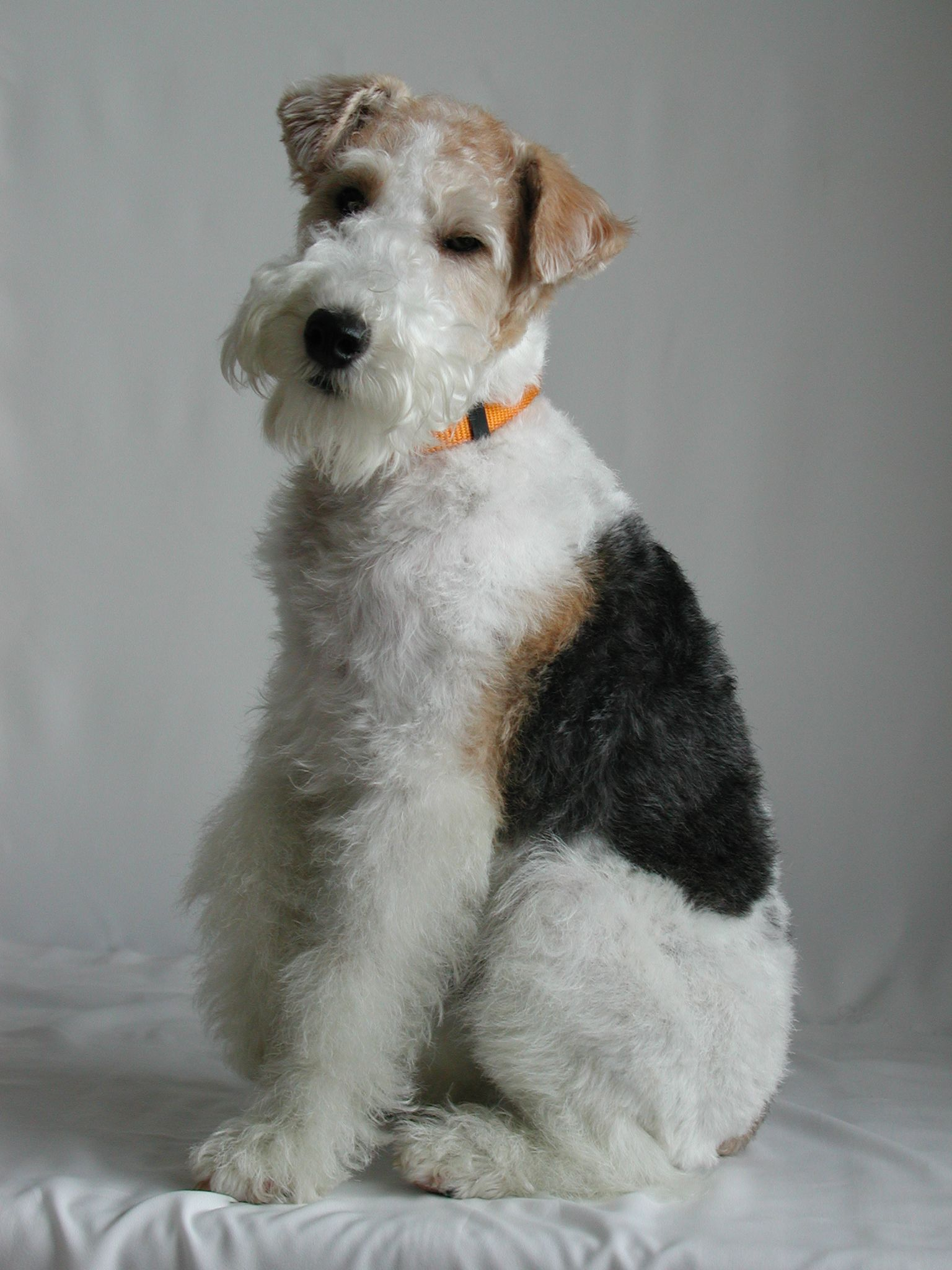 Pin von Ortego\'s Orchard auf Wire Fox Terriers & Friends ...