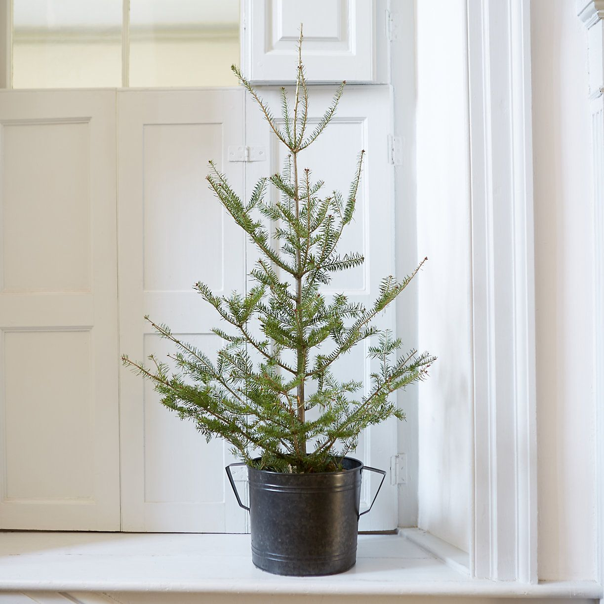 Tabletop Balsam Fir | Tabletop, Firs and Tabletop christmas tree