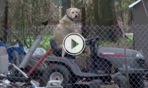 Local Tornado Broadcast Was Ending With A Chill Dog Sitting on Lawnmower.