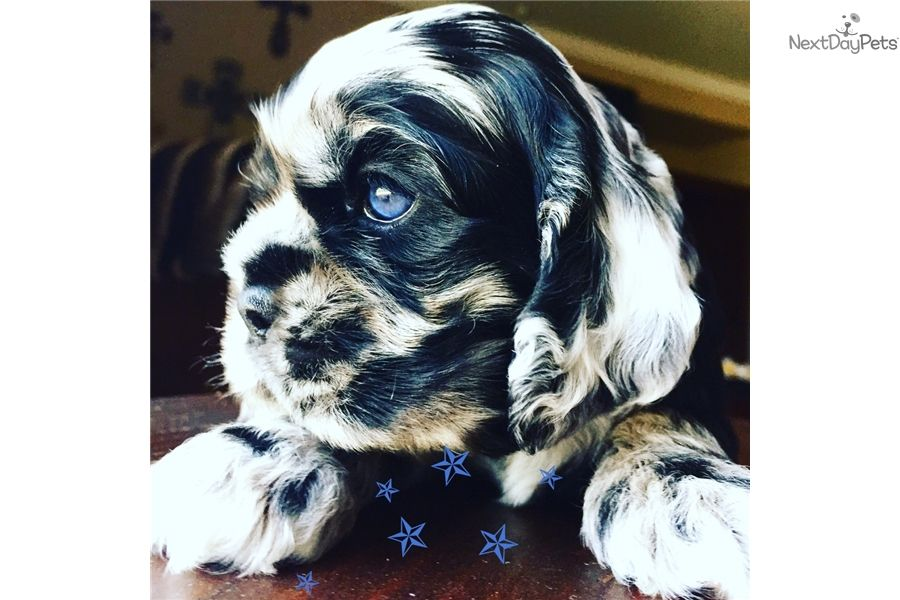 Ch Lines Blue Eyes Cocker Spaniel Puppies Cocker Spaniel For Sale Cocker Spaniel