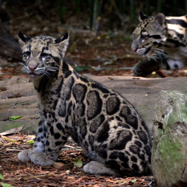 Extinct Taiwanese Leopard Spotted For The First Time In Over 30 ...