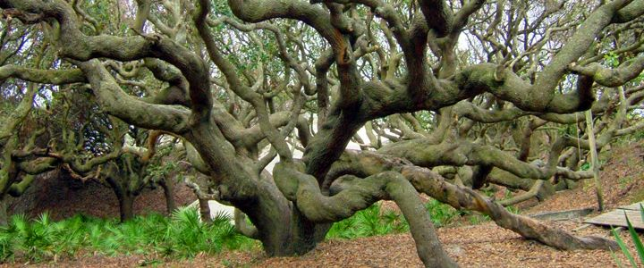 Live Oak Tree In Texas An Entertainers Delight