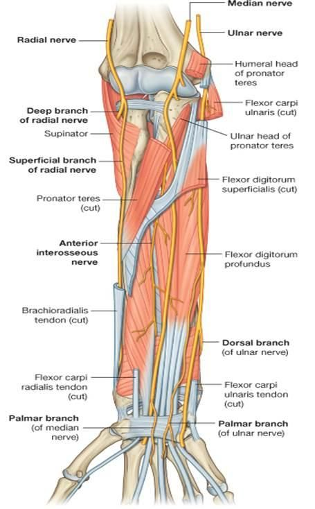 Hand Nerves Diagram Volvo Wiring Diagrams S40 Arterial Supply Of The Forearm - بحث Google | Anatomy Pt Pinterest Median Nerve, Muscle And ...