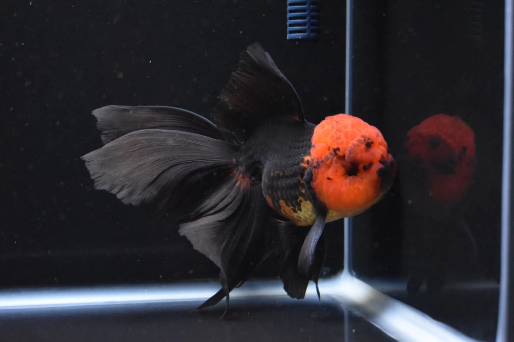 Thai Oranda Red Black 6 5 Inch Id 1008to3a 45 King Koi And Goldfish Beautiful Fish Black And Red All Fish