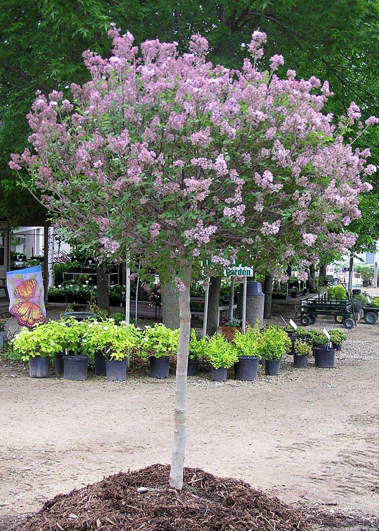 Dwarf Koren Lilac Tree Form Knecht S Nurseries Landscaping Lilac Tree Dwarf Korean Lilac Tree Dwarf Trees For Landscaping