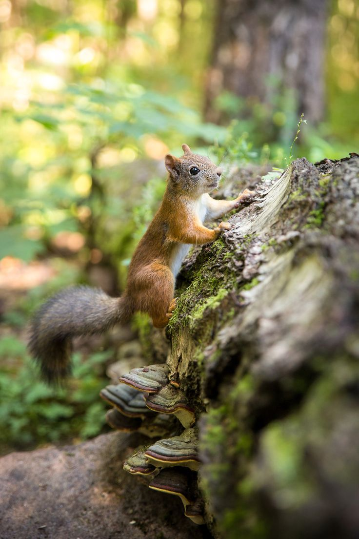 green brown . red squirrels
