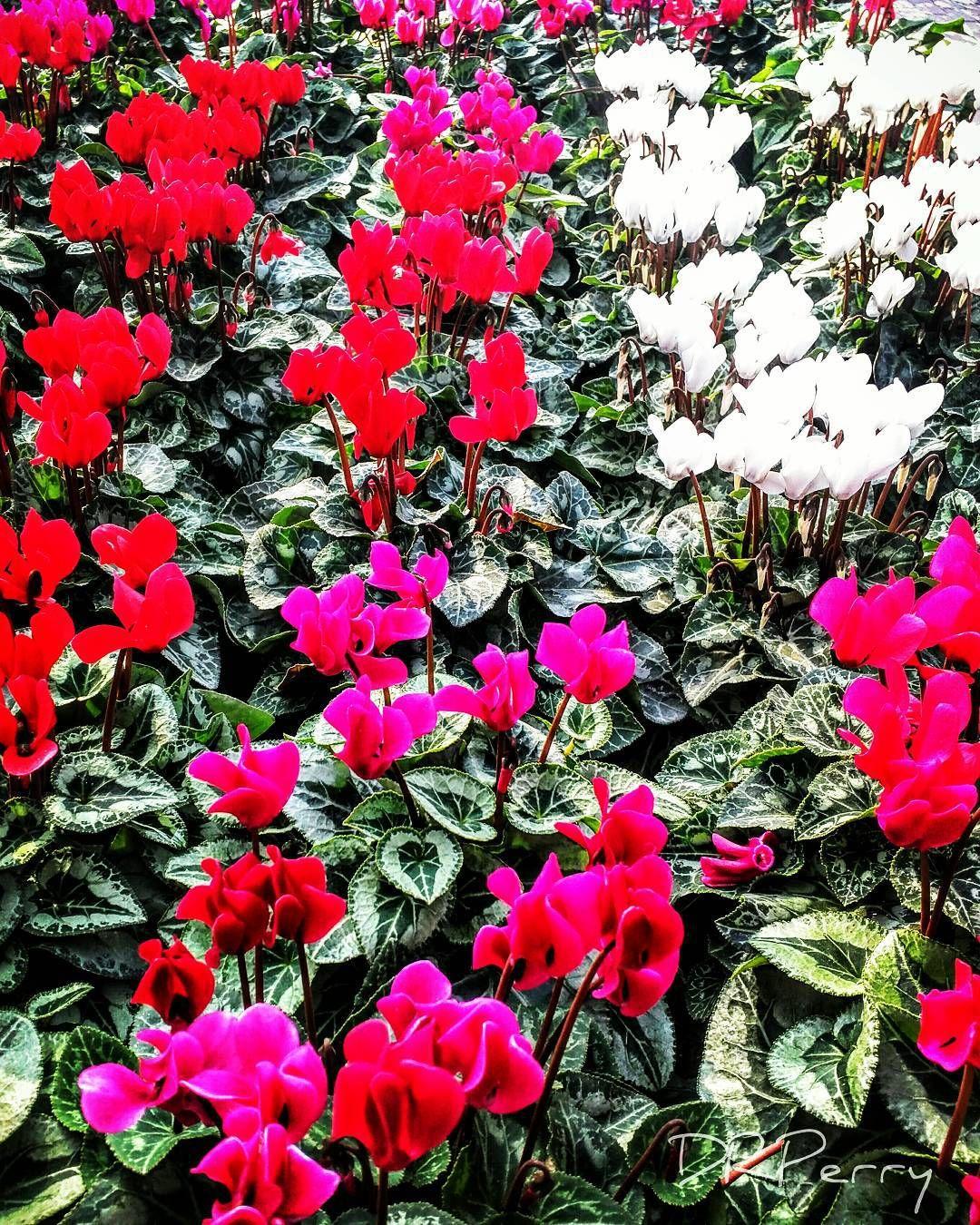 """Cyclamen"" #rome #roma #fiori #lazio #ig_italy #ig_lazio #repostromanticitaly #photobydperry #fb ##wp #flower #photooftheday #discoverglobe  #incredible_italy #noidiroma #italia #italy"