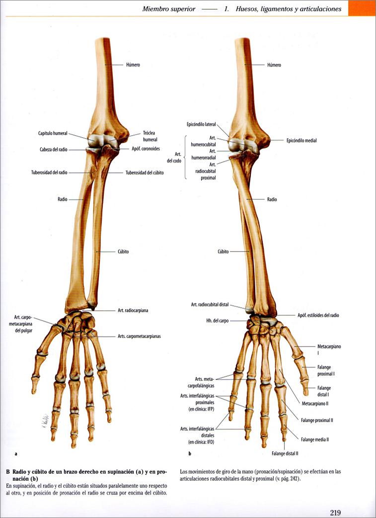 región-grupo-plano: Antebrazo supinación-pronación | anatomía ...