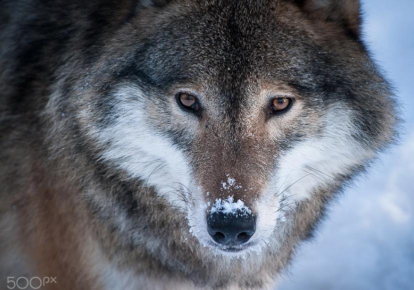 Pin De A Q En Animales Lobos Animales
