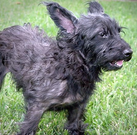 Cairn Terrier Mix With Images Terrier Cairn Terrier Mix