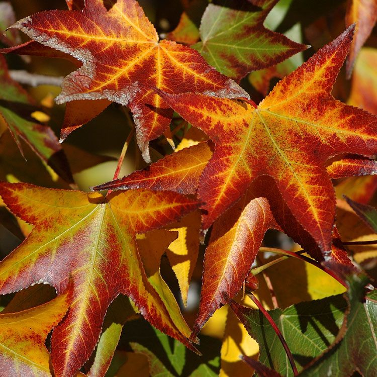 Sweet Gum Tree Liquidambar Styraciflua Sweet Gum Plant Leaves Native Garden