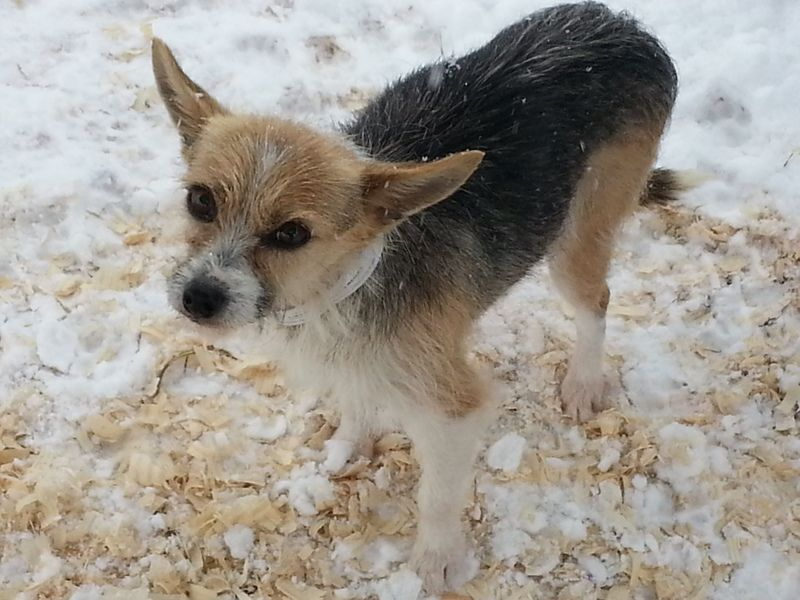 Adopt Piper on Chihuahua mix, Chihuahua, Yorkshire terrier