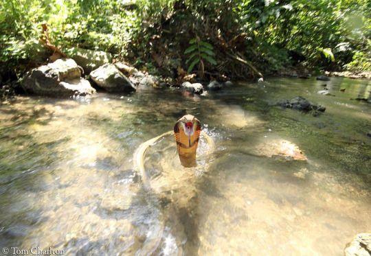 Thai king cobra(Ophiophagus hannah). Krabi province, Southern Thailand.  Photo credit: Tom Charlton