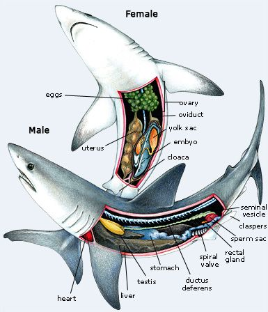 Inside A Shark Diagram Collection Of Wiring Diagram
