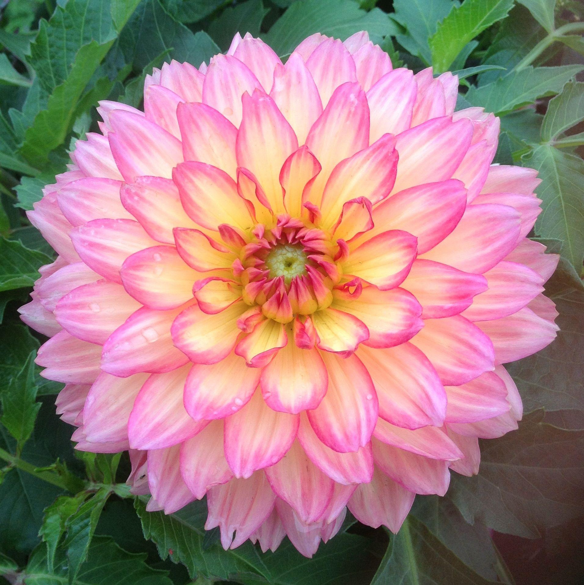Most Beautiful Dahlias Dahlia Dahlia Flowers Garden