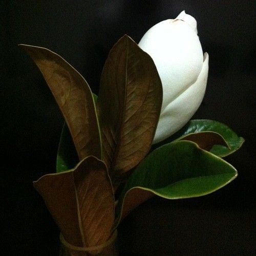 Magnolia Flower Flores Blancas Disenos De Flores Imagenes De Flores