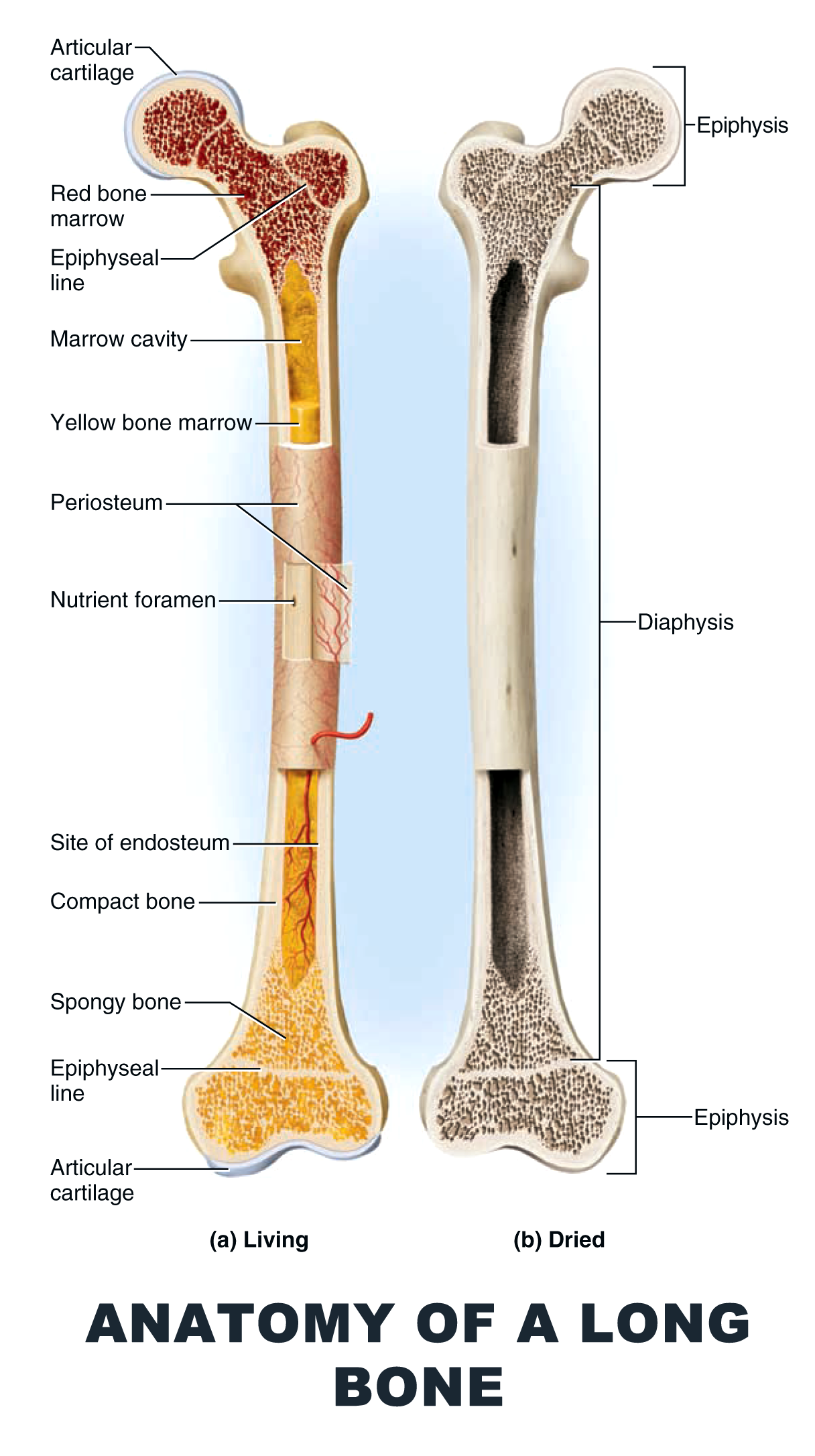 Anatomy of a Long Bone - #anatomy images illustrations #anatomy ...
