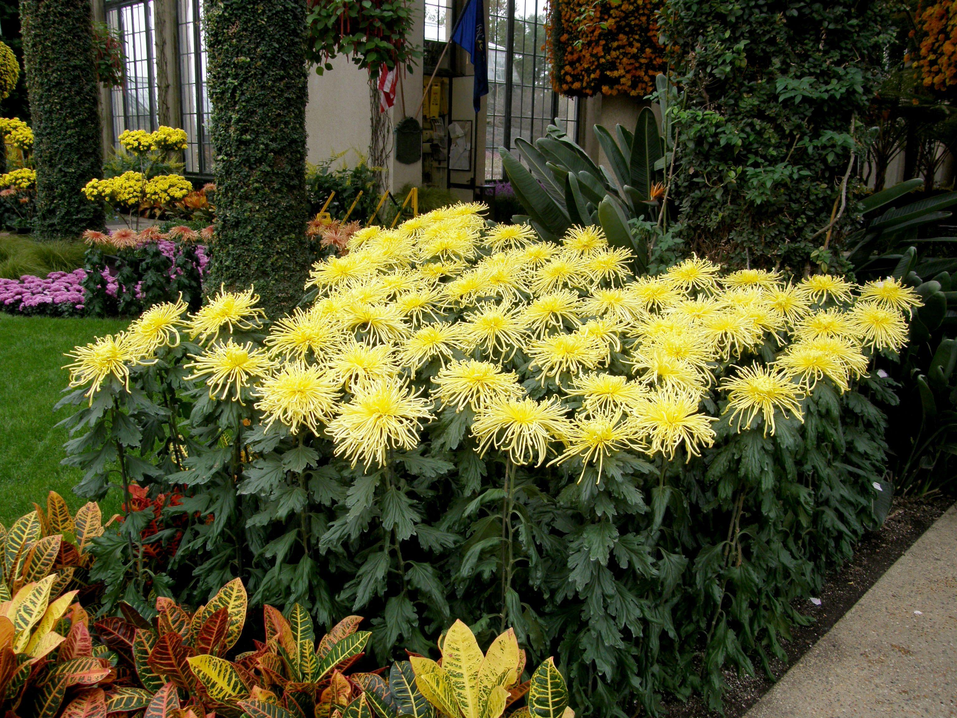One Singular Sensation Longwood Gardens Longwood Gardens Chrysanthemum Chrysanthemum Plant