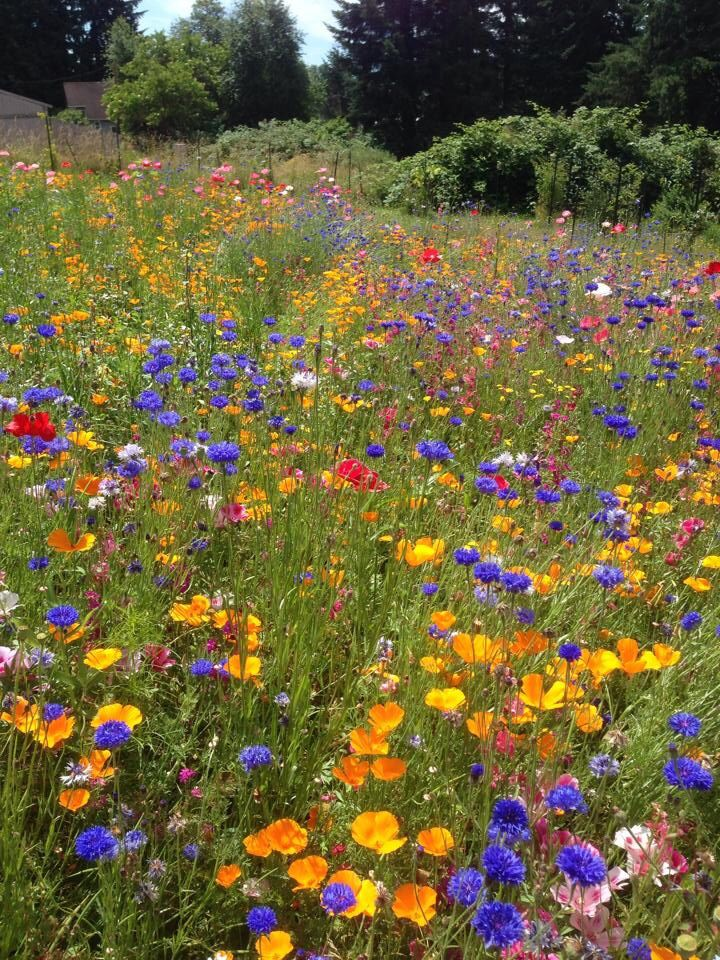 Beautiful, wildflower backyard. Wildflower garden, Wild