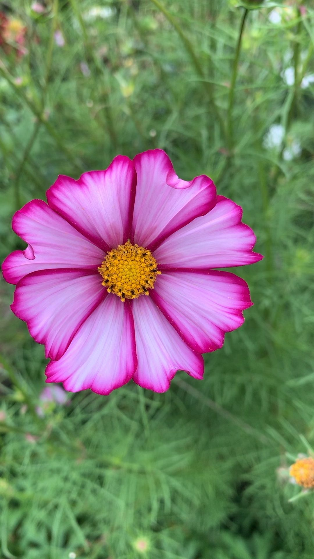 Cosmos In Pink Bloom Amazinggardenvideos Bloom Cosmos Pink In 2020