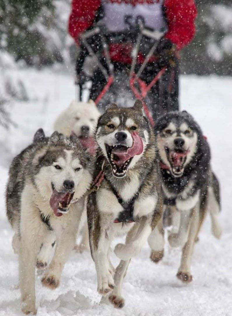 Sled Dogs Cute Dogs Dogs Dog Love