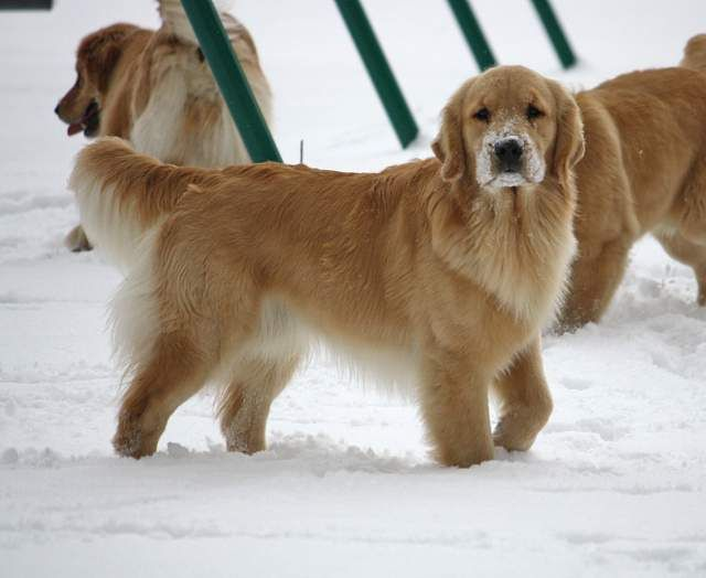 Love This Picture Of A Harborview Golden With A Snowy Nose Dogs