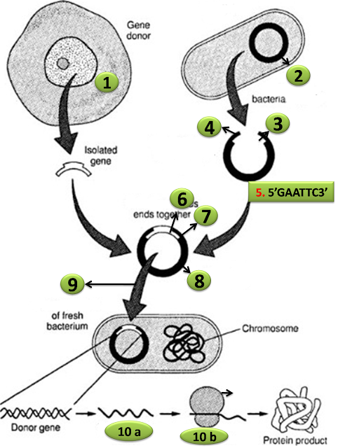 Diagram quiz on steps in recombinant dna or rdna technology diagram quiz on steps in recombinant dna or rdna technology biology multiple choice quizzes ccuart Choice Image