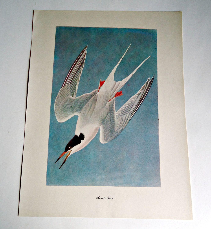 Audubon Bird Print For Framing Roseate Tern Print 1940's Birds of America by treasurecoveally on Etsy