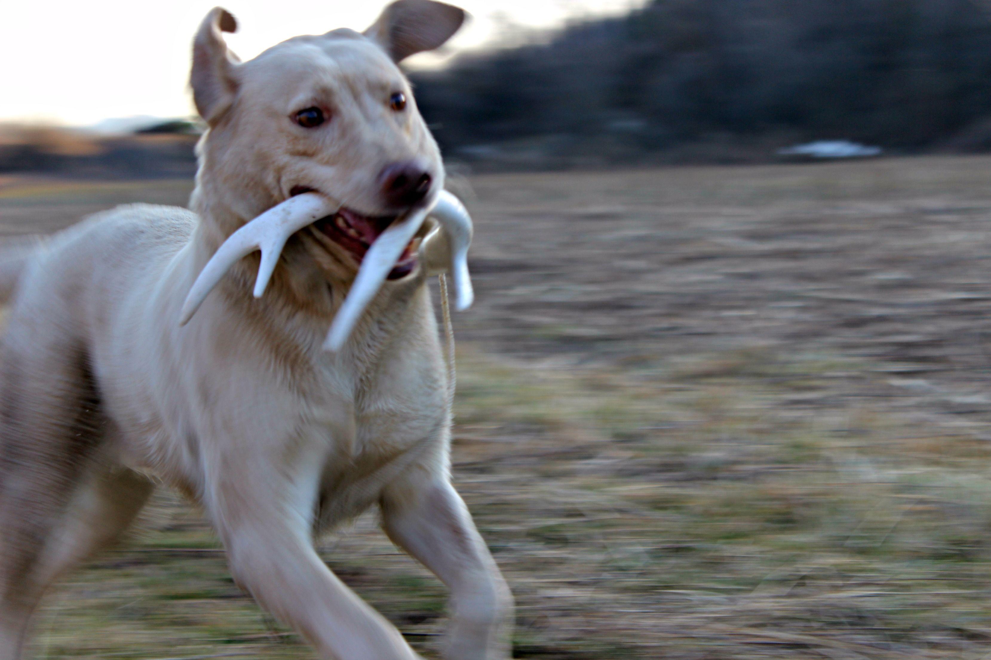 Shed Hunting Training Phase 1 Dog Training Dog Training