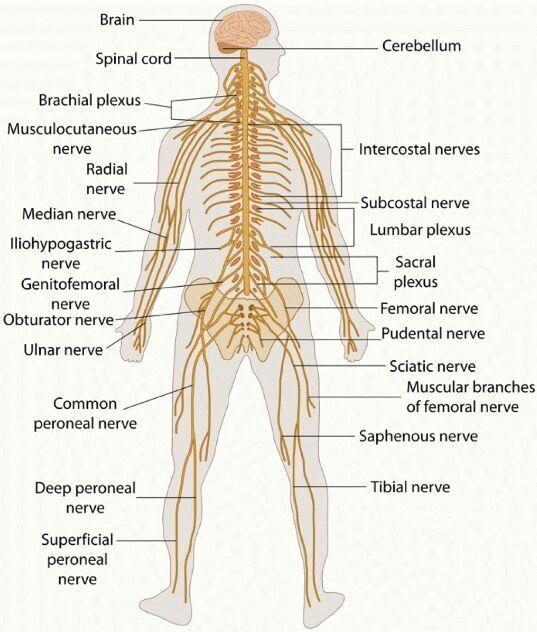 Human nerves gross anatomy - Anatomy Note - www.anatomynote.com ...
