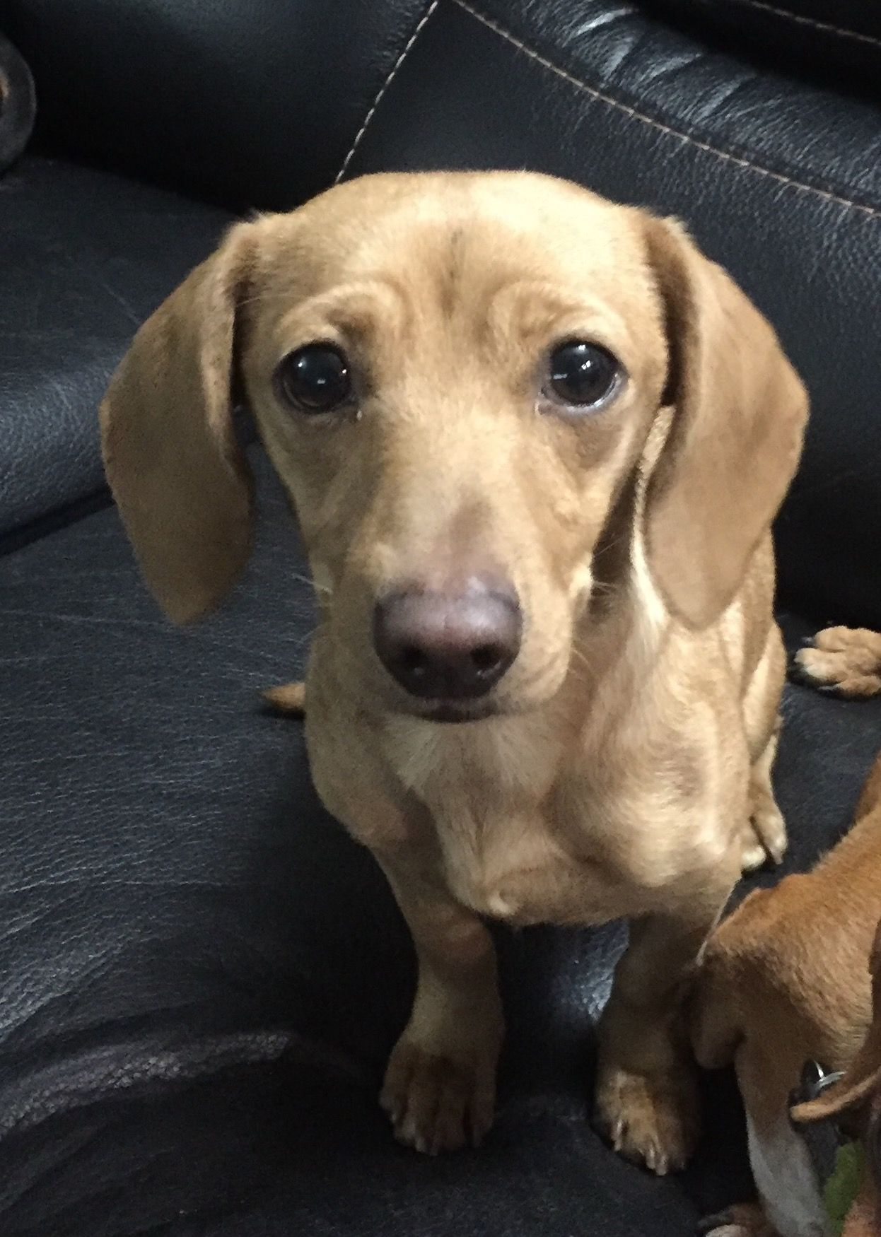 Dachshund dog for Adoption in Los Angeles, CA. ADN409151