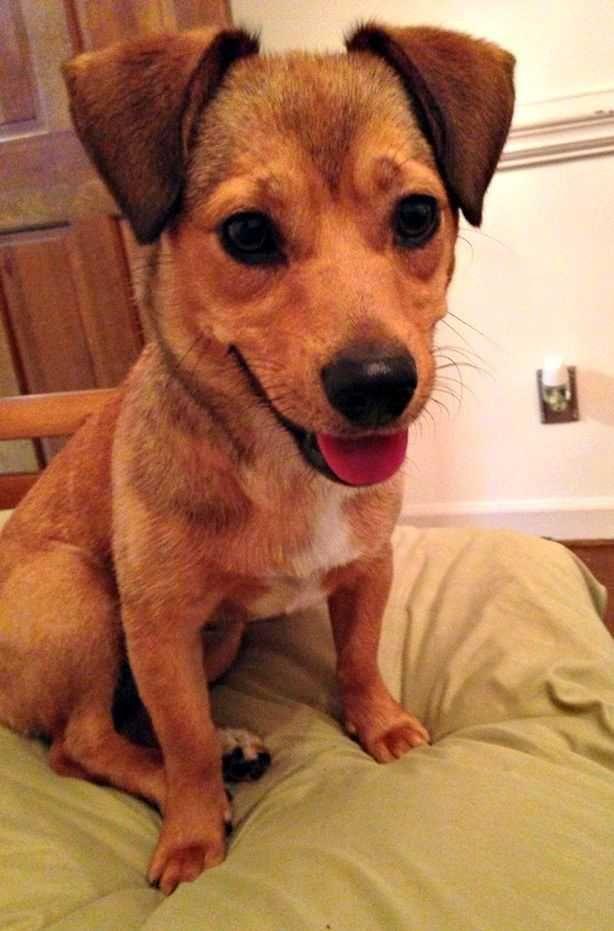 Tilda Beagle Dachshund Mix In Durham Nc Dachshund Mix Beagle