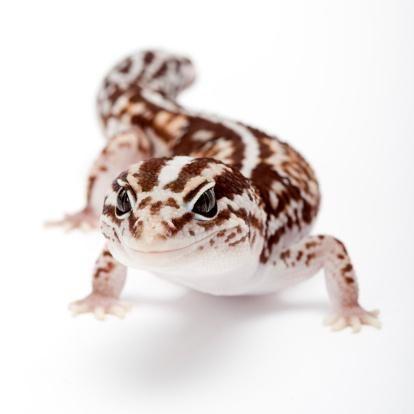 African Fat -tailed Gecko, Hemitheconyx Caudicinctus,   Reptiles y ...