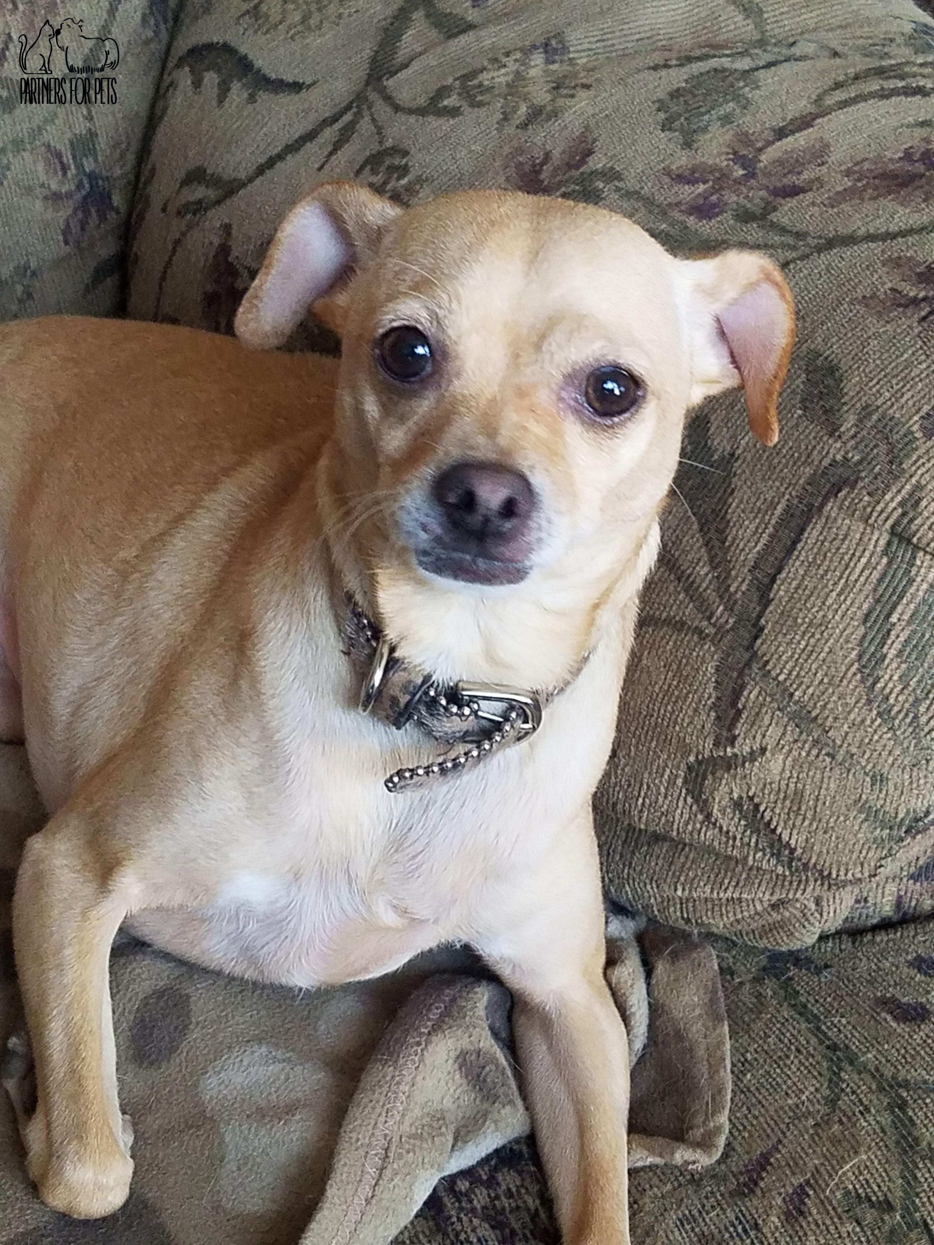 Chihuahua Dog For Adoption In Troy Il Adn 603279 On Puppyfinder