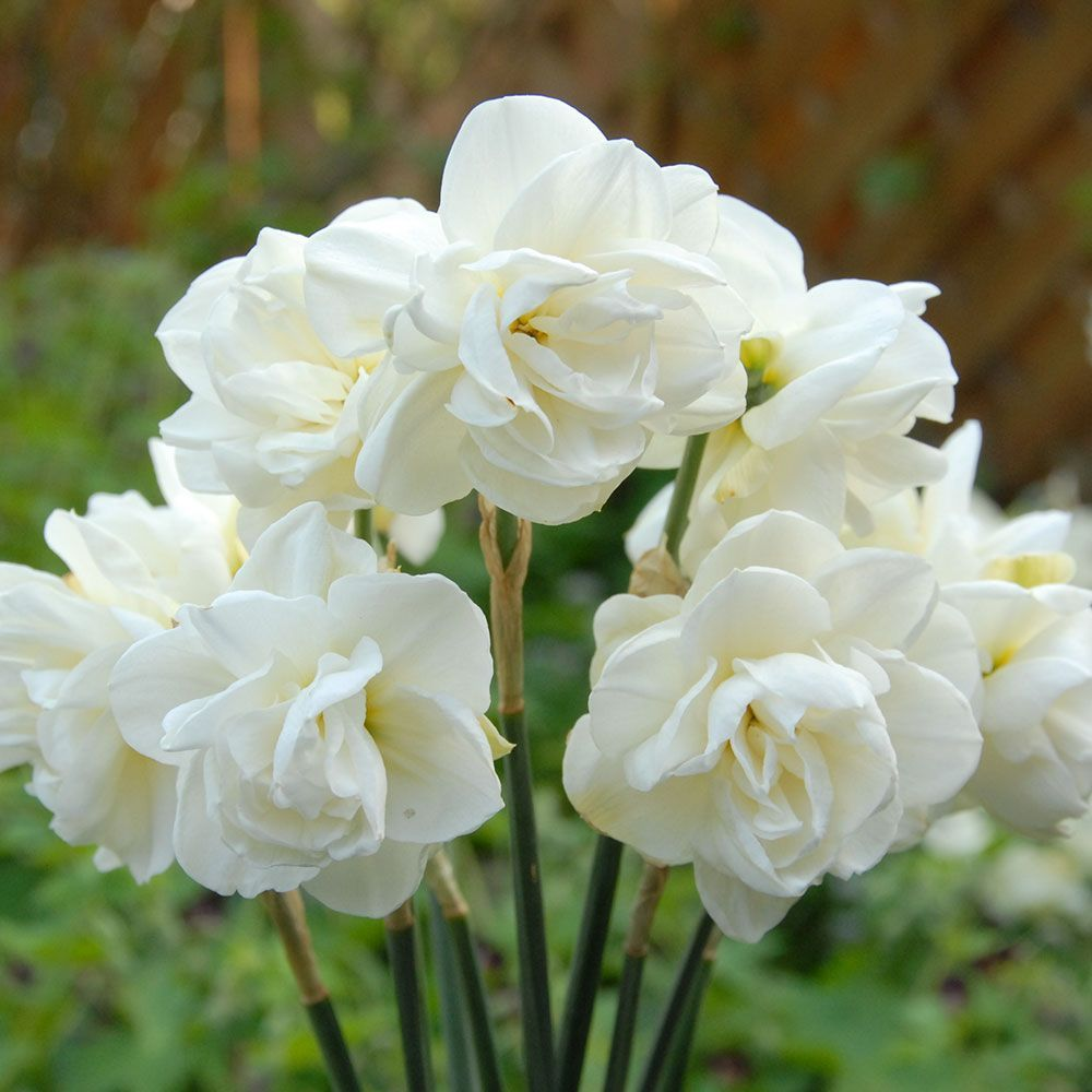 Narcissus Rose Of May White Flower Farm In 2020 Bulb Flowers Narcissus Daffodils