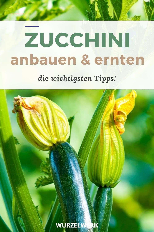 Zucchini Pflanzen Anbauen Ernten Der Komplette Guide Vorgartenideen Du Mochtest Zucchini In Deinem Garten Anbauen Supe Zucchini Indoor Garden Plants