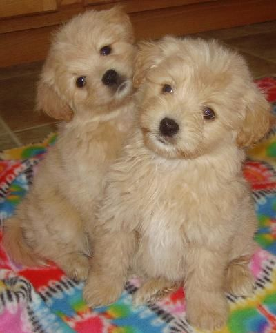 American Eskimo Poodle Mix Puppies For